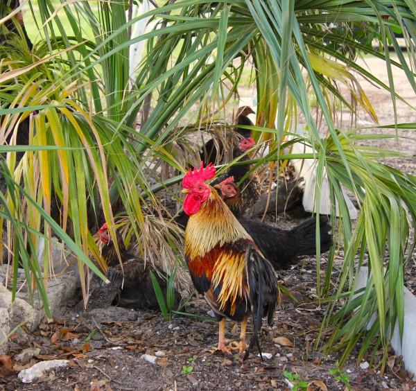 Ybor Rooster